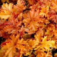 Heuchera 'Amber Waves'  (Żurawka  ) - heuchera_amber_waves_2[1]_(2).jpg